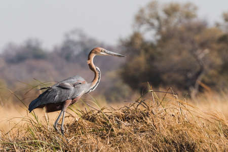 Goliath heron (Ardea goliath) standing in grass along river edge Bwabwata National Park, Namibia