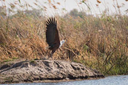 African Fish Eagle (Haliaeetus vocifer) taking flight from bank of river amongst windblown reeds Bwabwata National Park, Namibia