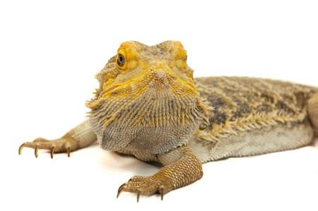 Bearded Dragon (Pagona) close up macro head on