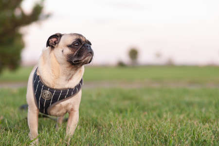 Pug standing in Grass Portrait wearing harness