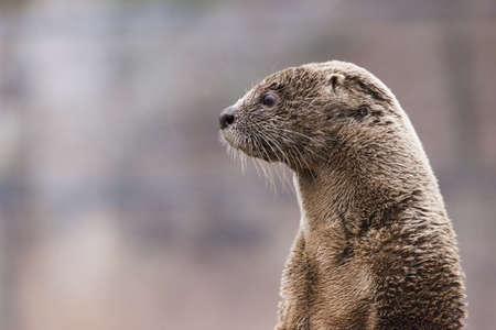 North American river otter (Lontra canadensis) portrait