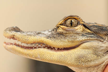 Common Caiman (Caiman crocodilus) alligator Close up of mouth and eye