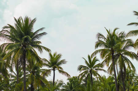 alleppey: coconut tree