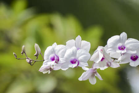 white: orchid white