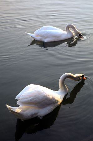 serine: Two wild swans floating together.