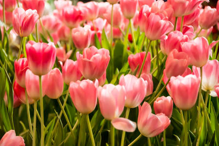 Beautiful tulips in isolated, field and background. Good for wall hanging or any advertisement either on line or off line. 스톡 콘텐츠