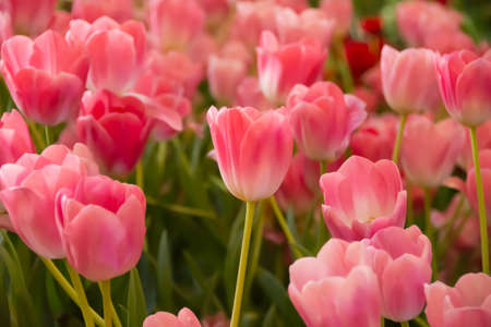 Beautiful tulips in isolated, field and background. Good for wall hanging or any advertisement either on line or off line. Imagens
