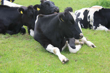grassfield: Many cows on grassfield