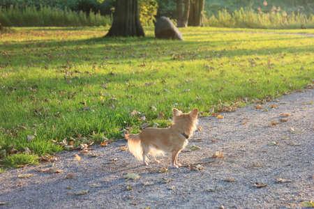 Chihuahua Dog on green grass Stock Photo