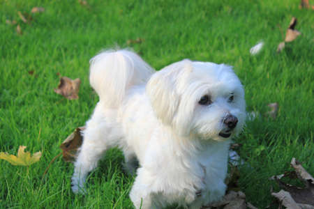 half breed: Malteser - Maltese - West Higland Terrier half-breed