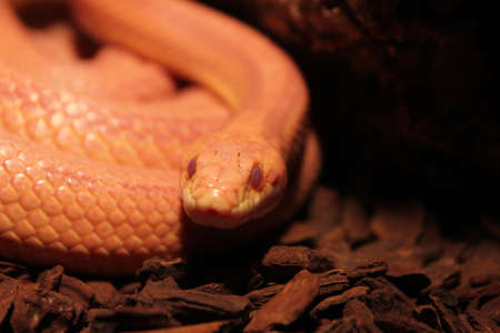 molting: Grass Snake is molting - Ringelnatter