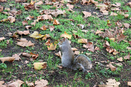 The gray squirrel in one of London parks Stock Photo