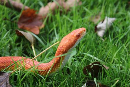 Albino Snake - Snake Grass - Grass Snake on grass Stock Photo