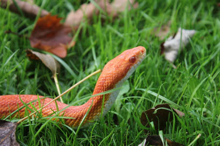 Albino Snake - Snake Grass - Grass Snake on grass Banco de Imagens