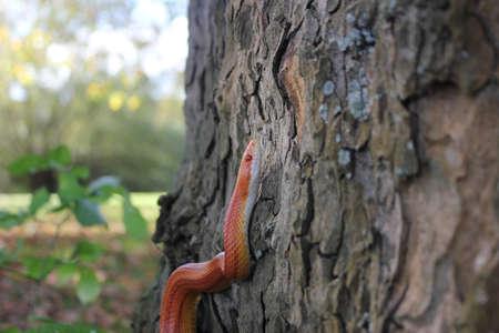 Albino Snake - Snake Grass - Grass Snake on tree Stock Photo