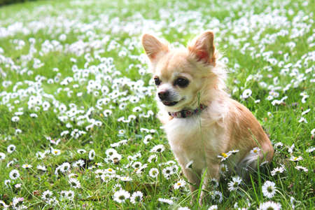 Brown Chihuahua sitting on green grass