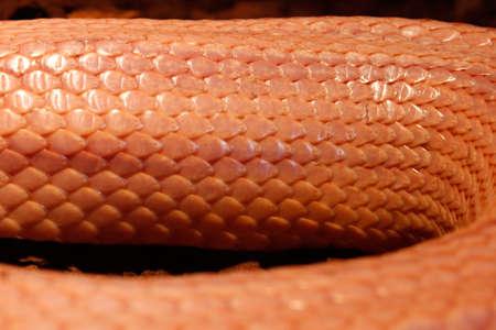 Grass Snake is molting Ringelnatter