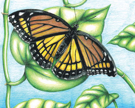 Viceroy Butterfly Color Pencil Illustration by Bobby Rembert