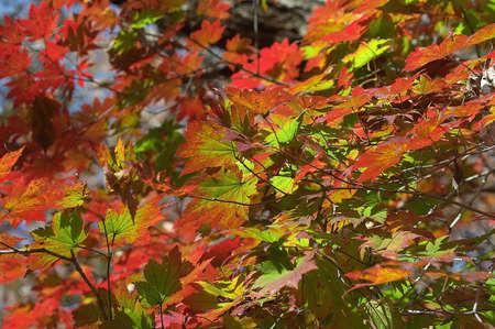 hojas de colores: Hojas de colores en Hamyang Parque Foto de archivo