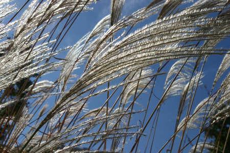 野草: 秋に茂朱で野生草 写真素材