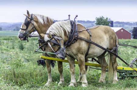 amish: Amish Work Horses