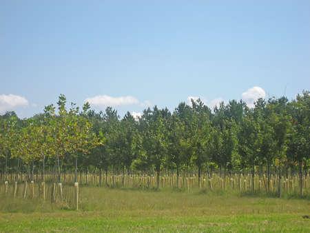 Tree nursery in late summer.