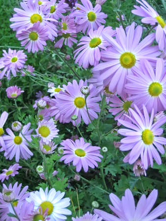 Lavender Asters in a Garden in the Early Autumn