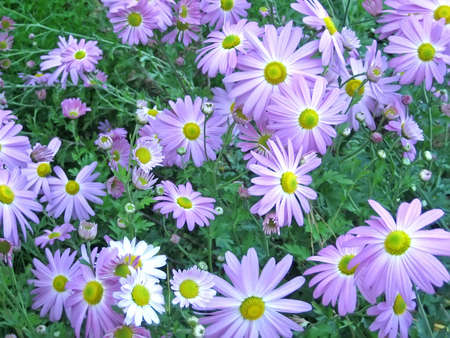 Lavender Asters in the Early Autumn