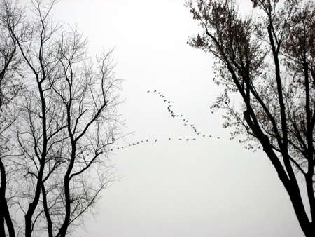 Geese in a V Formation Over Trees in  Late Autumn photo