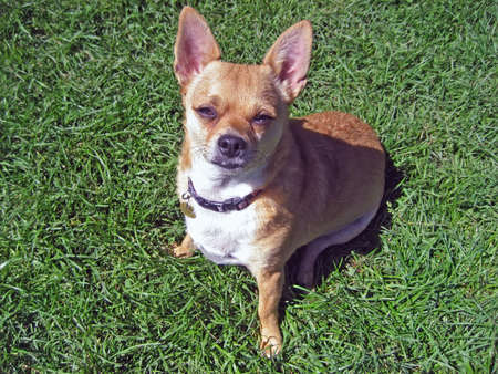 Handsome chihuahua posing on the grass on a sunny day.