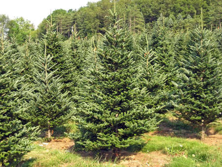 A Christmas tree farm in the summertime.
