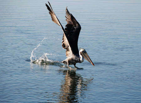 pelican landing on water