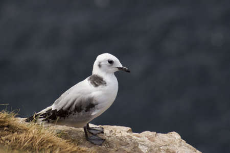 wildllife: Juvenile Kittiwake Stock Photo