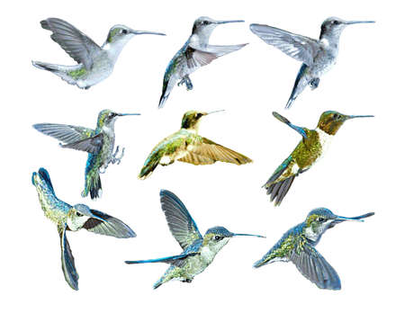 Vector_Six Hummingbirds in Flight Ilustrace