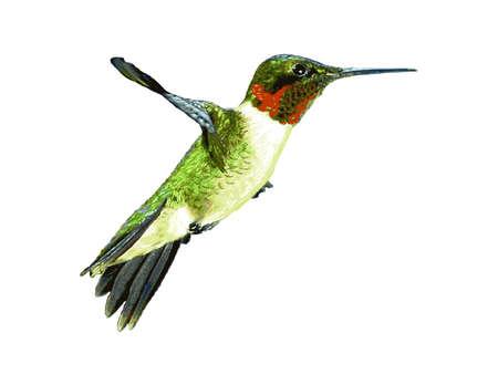 Hummingbird Hovering in Flight Ilustracja