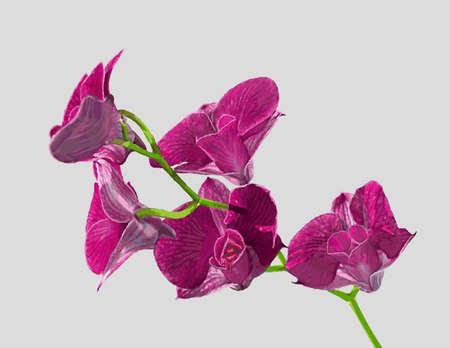 sepals: Orchid