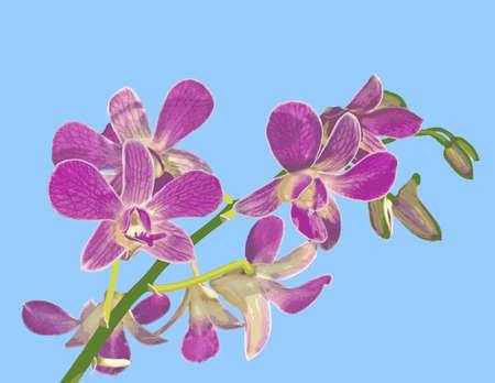 sepals: Phalaenopsis Equestris Orchid Illustration