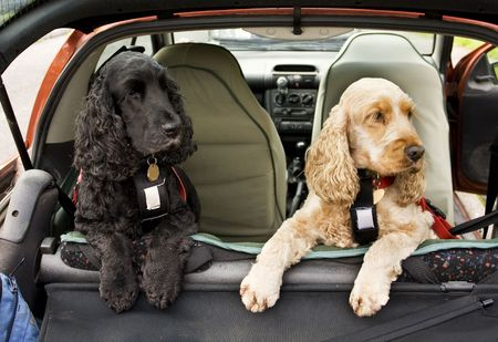 harness: black and golden Cocker Spaniel dogs in back of car Stock Photo