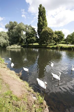 swans on a calm river in summer Stock Photo - 5243167