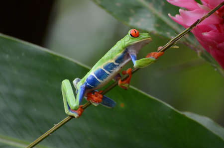 Red-eyed Tree Frog on the the branch