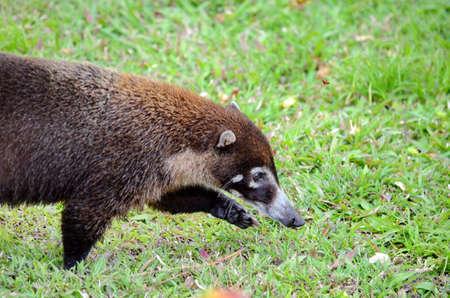 Coati on the grass Stock Photo