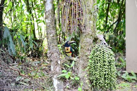 Collared Aracari in the wild 免版税图像