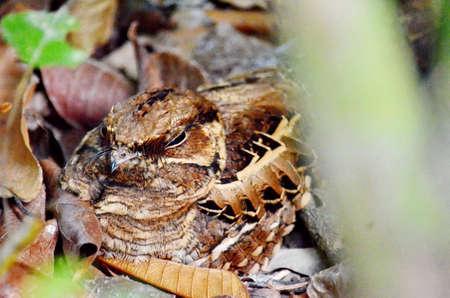 Common Pauraque sitting on nest Stock Photo