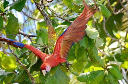 Scarlet Macaw in a tree, Osa Peninsula,  Costa Rica Stockfoto