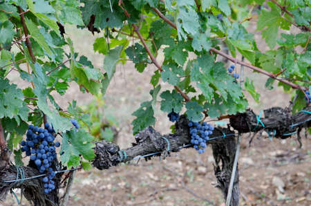 Vineyard with red wine grapes