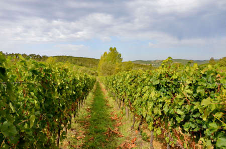 Vineyard with red wine grapes, Stock Photo