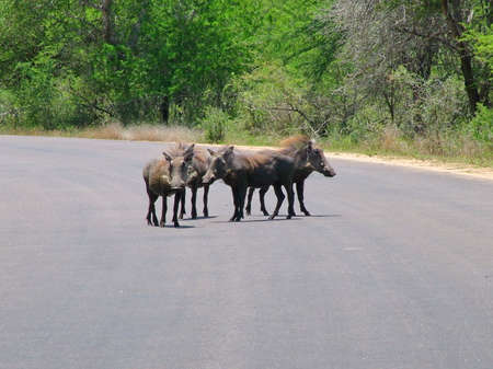 Warthogs in the wild