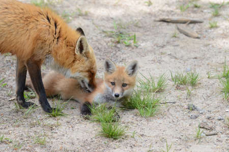 Red Fox mother and Kit