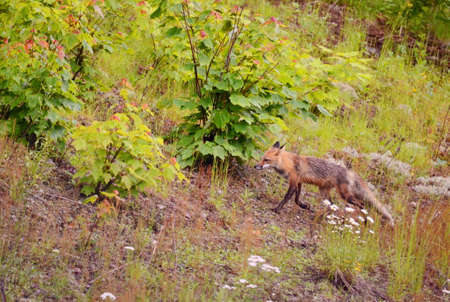 Red Fox with wet fur