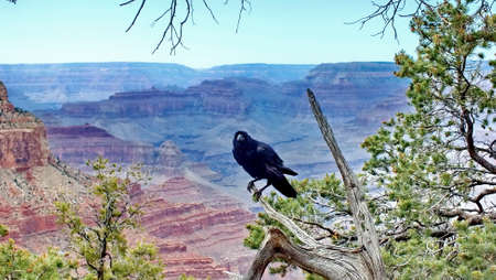 Raven on the South Rim of the Grand Canyon